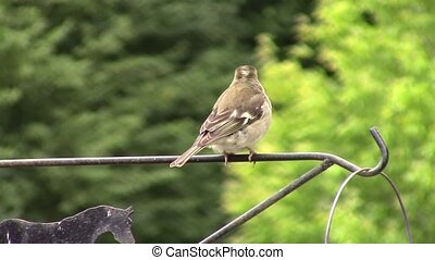 Finch perched on a rail. - Finch perched and hopping on a...