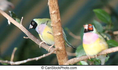finches sitting on a branch in the forest - finches sitting...