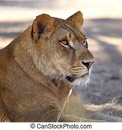 fine, immagine, leonessa