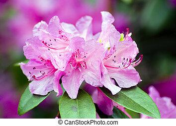 rhododendron - Fine pink rhododendron in a garden