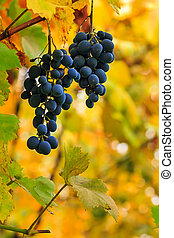 fine sweet grapes on a foliage background - two fine sweet...