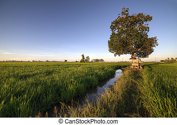 Fine weather at paddy fields