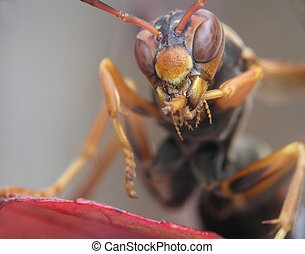Finger licking good - Super Macro of a hornet cleaning his...
