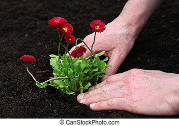 Finishing planting daisy seedling