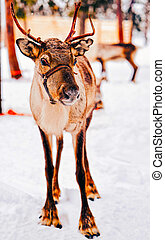 finlandia, laponia, reno, invierno, marrón