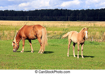 Finnhorse Mare and Filly on Grass Meadow