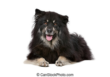 Finnish Lapphund in front of a white background