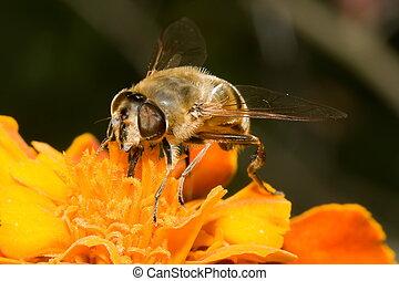 fiore, ape
