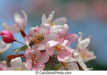 fiore, ape, crabapple