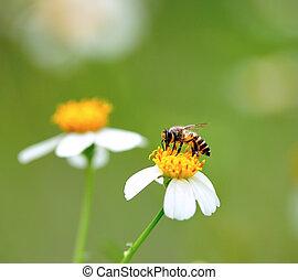 fiore, ape, nettare, bere