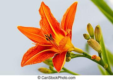 fiore arancia, day-lily
