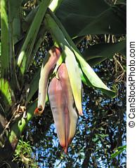 fiore, banana