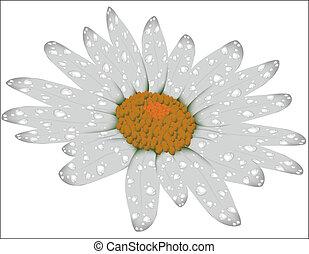 fiore bianco, isolato, camomile