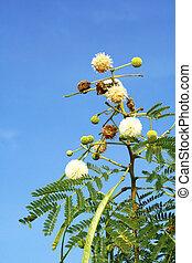 fiore bianco, leadtree