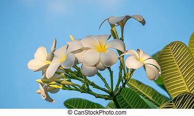 fiore bianco, plumeria