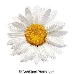 fiore, camomilla, isolato