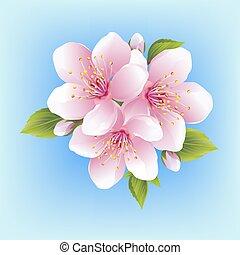 fiore, ciliegia, giapponese, isolato