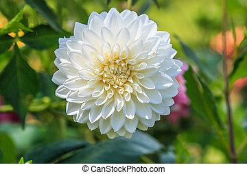 fiore, colorito, struttura, fondo, dalia, bianco