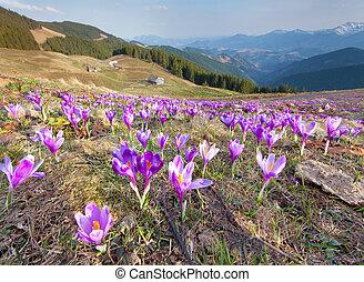 fiore, crocuses, primavera, montagne