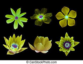 fiore dentellare, collezione