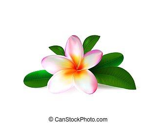 fiore dentellare, foglie, isolato, realistico, verde, plumeria, fondo, fresco, bianco