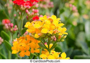fiore, fiammeggiante, katy