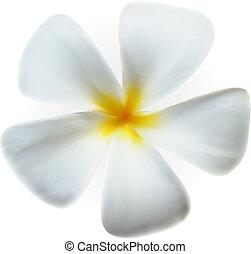 fiore, frangipani, isolato, plumeria, terme, bianco