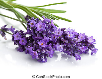 fiore, lavanda, isolato
