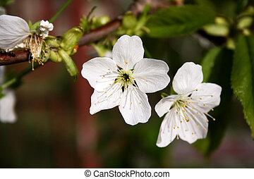 fiore, mela
