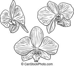fiore, orchidea, acquaforte, woodcut