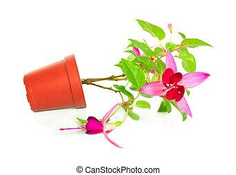fiore, ottenere, fuoriuscita, vaso, fucsia, isolato, houseplants, fondo, bianco