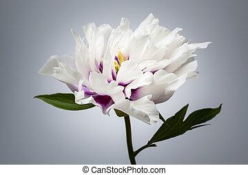 fiore, peonia, uno