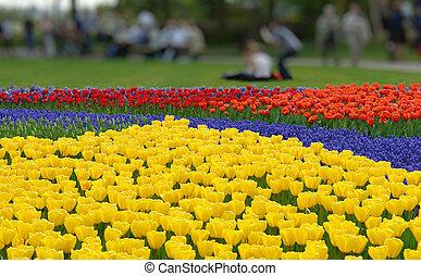 fiore primaverile, letto, in, keukenhof, giardini