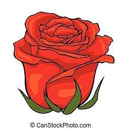 fiore, rosa, isolato, fondo., bianco, bud., rosso