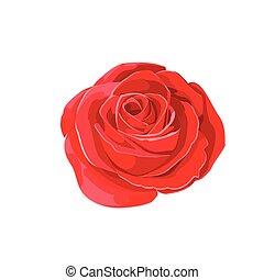 fiore, rose., isolato, illustrazione, fondo., vettore, bianco rosso