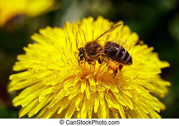 fiore selvaggio, closeup, honeybee, giallo