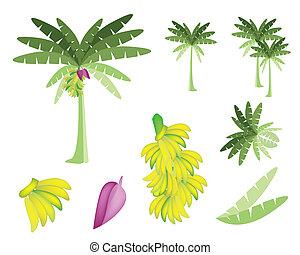 fiore, set, albero, banane, banana