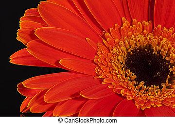 fiore, singolo, sfondo nero, gerbera, rosso