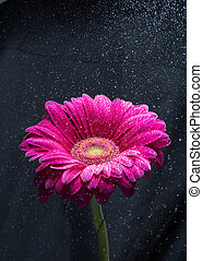 fiore, sopra, spruzzo acqua, sfondo nero, gerbera, rosso