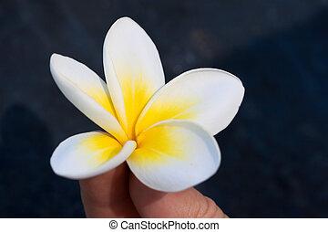 fiore tropicale, frangipani, in, mano