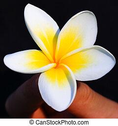 fiore tropicale, frangipani, in, mano, primo piano