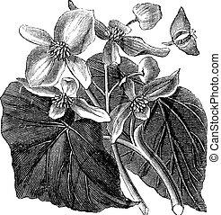 fiore, vendemmia, begonia, begoniaceae, o, engraving.
