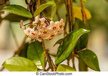 Hoya Fiori Giallo Hoya Wight Parasitica Giallo Wall Hoya Flowers Ex Roxb Canstock