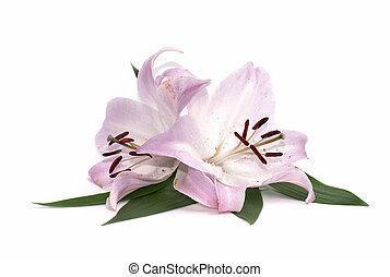 fiori bianchi, giglio, isolato