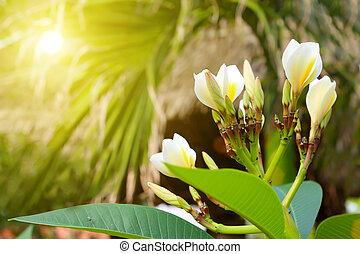 fiori bianchi, in, il, iarda, di, uno, tradizionale, casa, vietnam