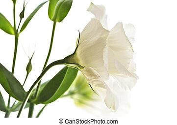 fiori bianchi, isolato