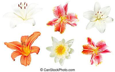 fiori, bianco, set, giglio, isolato