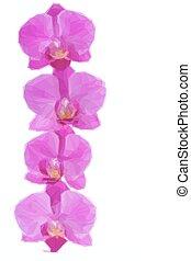 fiori, bordo, orchidea
