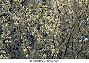 fiori, crabapple