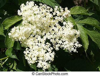 fiori, di, il, nero, sambuco